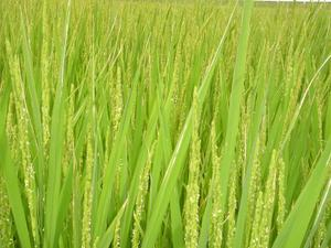 稲の出穂期: でんでん大将のひとり言